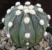 Load image into Gallery viewer, Astrophytum asterias X capricorne (A)