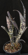 Load image into Gallery viewer, Billbergia vittata cv. 'Domingos Martins' Double headed!