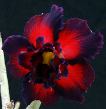 Load image into Gallery viewer, Adenium 'Black Border' *Big Plants!* Grafted Hybrid (2)