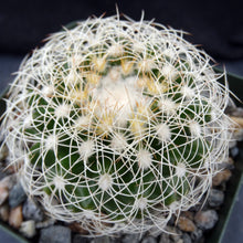Load image into Gallery viewer, Discocactus araneispinus