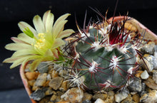 Load image into Gallery viewer, Echinocereus viridiflorus