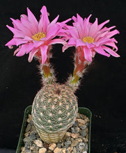 Load image into Gallery viewer, Echinocereus adustus v. schwarzii Lace Cactus