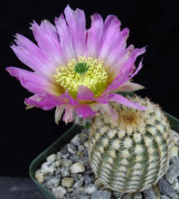 Load image into Gallery viewer, Echinocereus reichenbachii var. minor