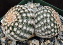 Load image into Gallery viewer, Echinocereus reichenbachii var. minor Clumping plants!