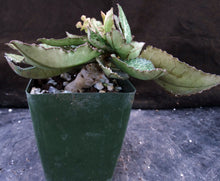 Load image into Gallery viewer, Euphorbia francoisii Thai Hybrid Crassicaule (Z)