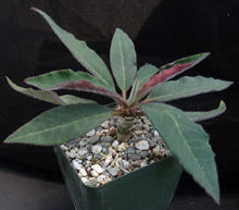 Load image into Gallery viewer, Euphorbia ankarensis