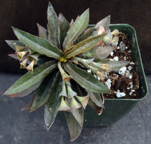 Load image into Gallery viewer, Euphorbia francoisii Thai Hybrid Crassicaule (F)