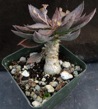 Load image into Gallery viewer, Euphorbia francoisii x tulearensis (I)
