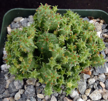 Load image into Gallery viewer, Euphorbia mammillaris 'Monstrose'
