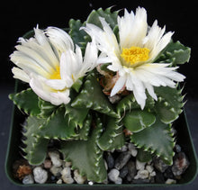 Load image into Gallery viewer, Faucaria candida