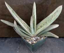 Load image into Gallery viewer, Gasteria Hybrid