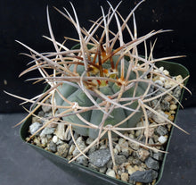 Load image into Gallery viewer, Gymnocalycium cardenasianum