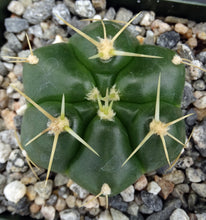 Load image into Gallery viewer, Gymnocalycium horstii 6-rib form