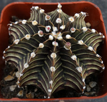 Load image into Gallery viewer, Gymnocalycium friedrichii Agua Dulce LB2178