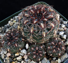 Load image into Gallery viewer, Gymnocalycium mesopotamicum