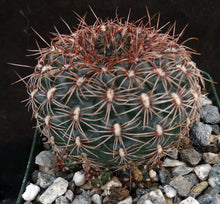 Load image into Gallery viewer, Gymnocalycium mesopotamicum Clumping plants!