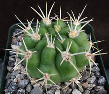 Load image into Gallery viewer, Gymnocalycium monvillei