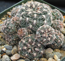Load image into Gallery viewer, Gymnocalycium bruchii