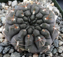 Load image into Gallery viewer, Gymnocalycium lukaskii