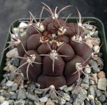 Load image into Gallery viewer, Gymnocalycium pflanzii