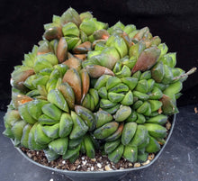 Load image into Gallery viewer, Haworthia cuspidata Big Plant!