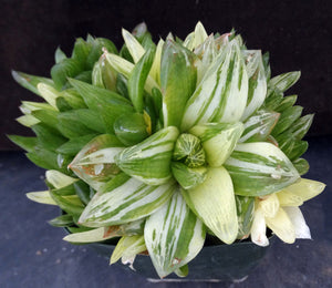 Haworthia cymbiformis 'variegata' Big clump! Variegated