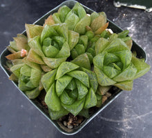 Load image into Gallery viewer, Haworthia cymbiformis Clumping Plant!
