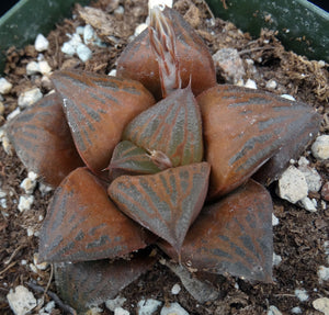 Haworthia retusa 'Desert Iron'