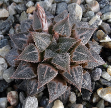 Load image into Gallery viewer, Haworthia emelyae