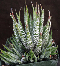 Load image into Gallery viewer, Haworthia fasciata 'Wet Paint' Clumping plants!