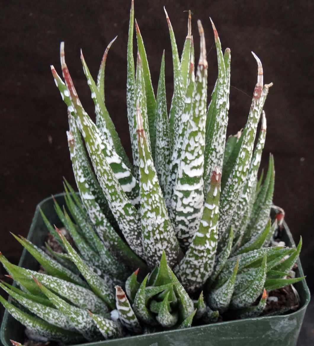 Haworthia fasciata 'Wet Paint' Clumping plants!