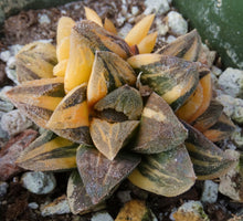 Load image into Gallery viewer, Haworthia pygmaea 'Tiger pygmaea' Variegated Clumping plant!