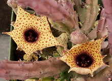 Load image into Gallery viewer, Huernia hislopii