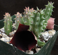 Load image into Gallery viewer, Huernia keniensis v. nairobiensis