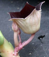 Load image into Gallery viewer, Huernia pendula