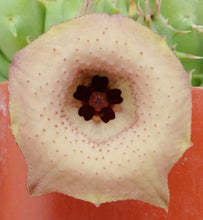 Load image into Gallery viewer, Huernia rosea (Lavranos 11269)