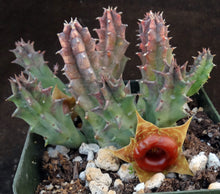 Load image into Gallery viewer, Huernia zebrina