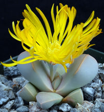 Load image into Gallery viewer, Lapidaria margaretae