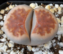 Load image into Gallery viewer, Lithops karasmontana (C)