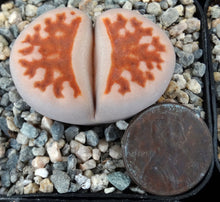 Load image into Gallery viewer, Lithops karasmontana