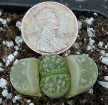 Load image into Gallery viewer, Lithops marmorata