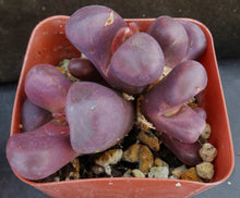 Load image into Gallery viewer, Lithops optica 'Rubra' Big clump!