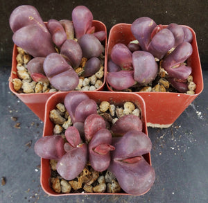 Lithops optica 'Rubra' Big clump!