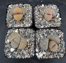 Load image into Gallery viewer, Lithops pseudotruncatella