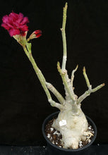 Load image into Gallery viewer, Adenium 'Mahasettee' *Big Plants!* Grafted Hybrid (15)