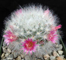 Load image into Gallery viewer, Mammillaria bocasana