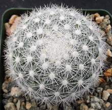 Load image into Gallery viewer, Mammillaria candida