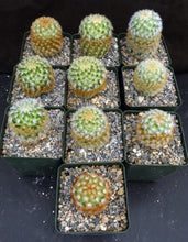 Load image into Gallery viewer, Mammillaria carmenae