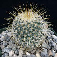 Load image into Gallery viewer, Mammillaria dixanthocentron