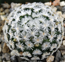 Load image into Gallery viewer, Mammillaria duwei